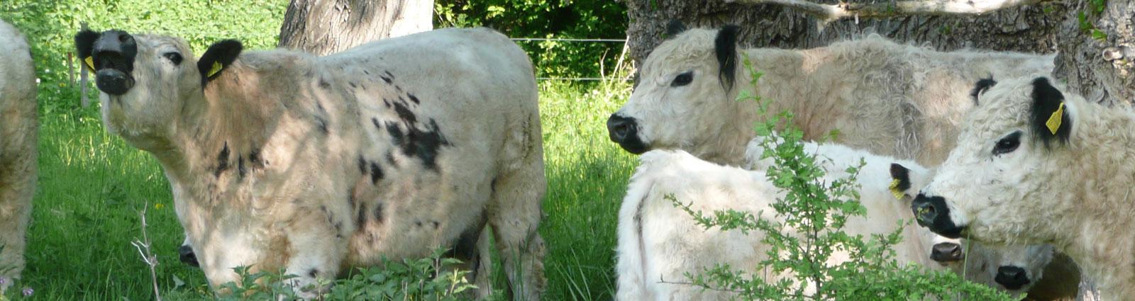 Fleischerei Willers Bremen - Kühe auf der Weide